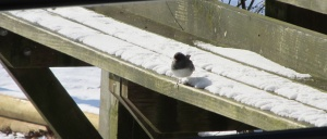 A Black-Eyed Junco takes a break on the snow-covered bench outside the visitor's center.