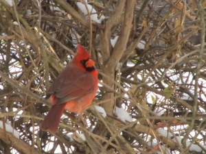 A Northern Cardinal perches near the bird feeders at Riverbend Park.