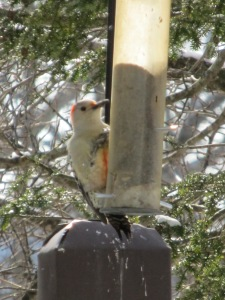 A Red-Bellied Woodpecker clings to the smallest feeder, scaring the smaller birds away.