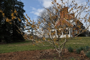 Winter Beauty blooms near the historic mansion.