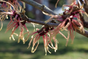 'Strawberries and Cream' is a popular variety of witch hazel.