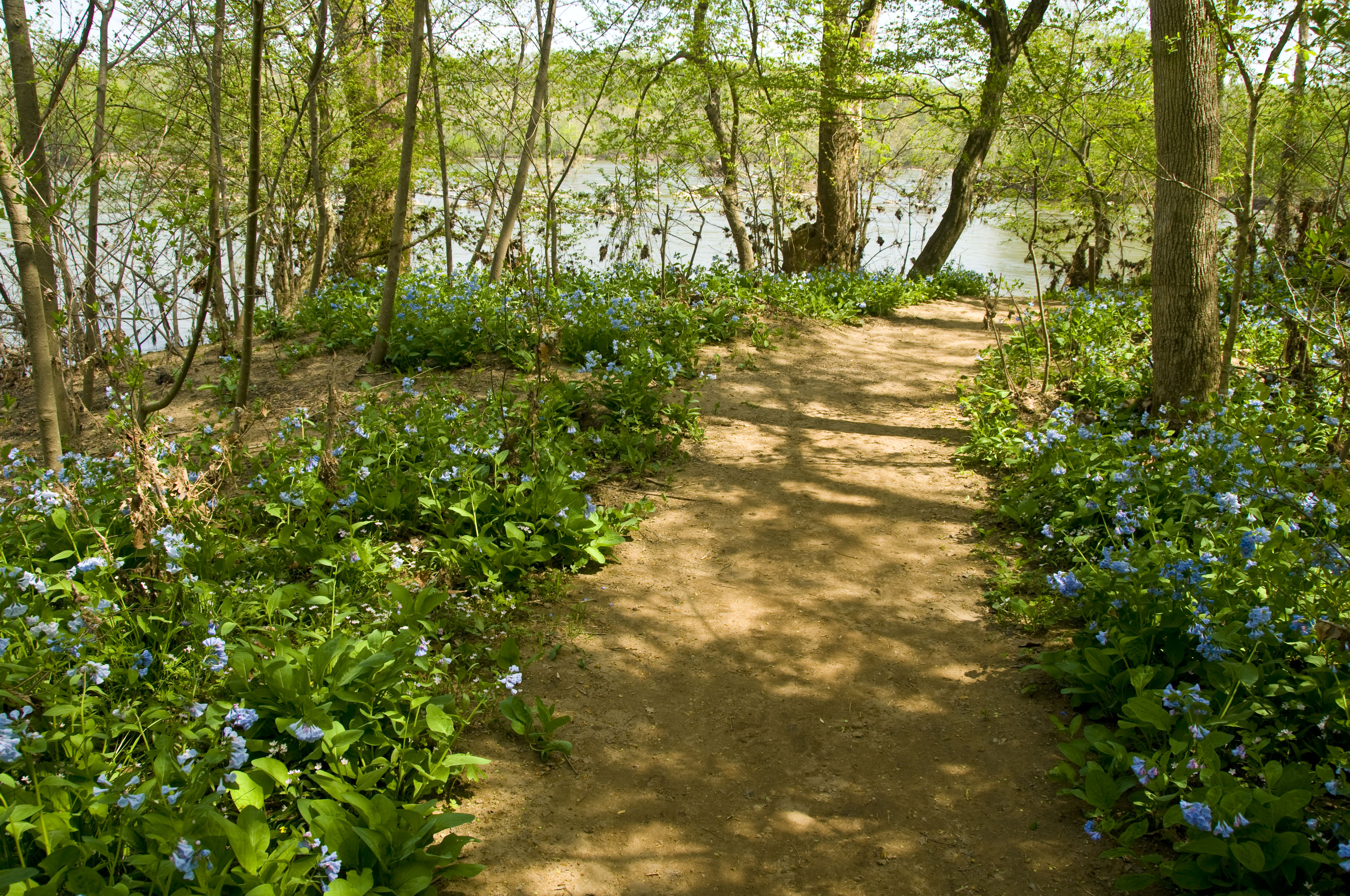 riverbend park fairfax va with Riverbends Bluebell Watch Has Begun on Skyline Drive Foliage Check also Mimus 20polyglottos moreover July 4th Weekend 2016 Northern Virginia further Wild And Wonderful Virginia Bluebells At Riverbend Park besides 8 Great Things To Do In Great Falls Virginia.
