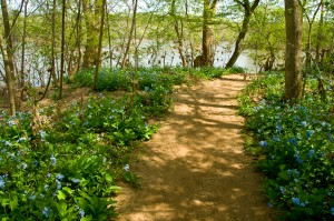 Bluebells line the trail at Riverbend Park.