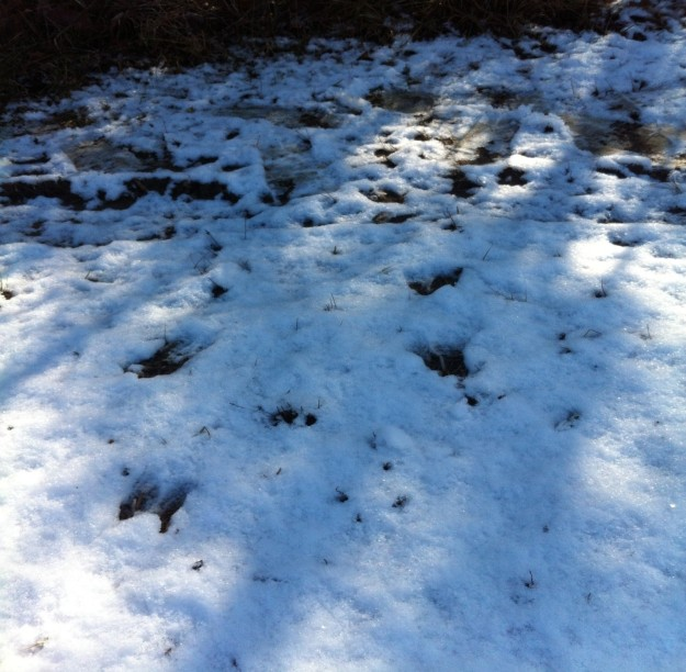 Deer leave hoof prints in the snow.