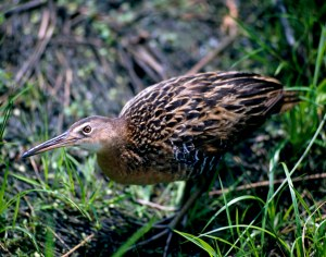 A healthy hemi-marsh is perfect habitat or the King Rail and other waterfowl.