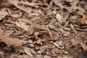 Wood frogs' camouflage help them blend into their surroundings.