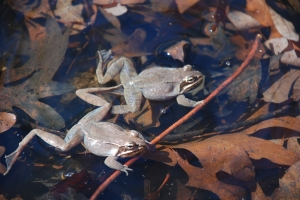 Wood frogs visit the pond to seek out a mate.