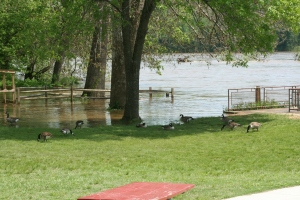 The Canada Geese hardly seem to mind the rising water in the picnic area near the kayak racks.
