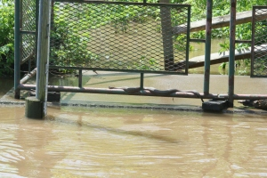 This Northern Water Snake hangs out on the bottom railing of the walkway as water levels rise.