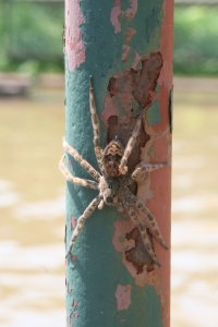 A Dark Fishing Spider spins a safety harness out of silk on a fence post.