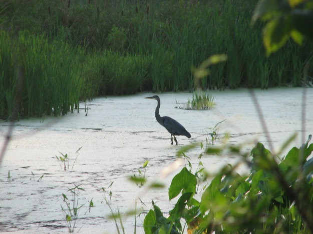 A Great Blue Heron stalks its prey at Frying Pan Farm Park.