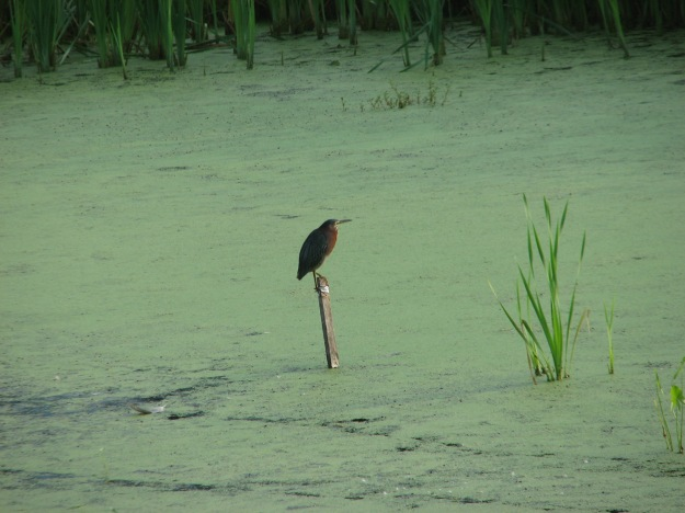 A green heron perches above the wetland.