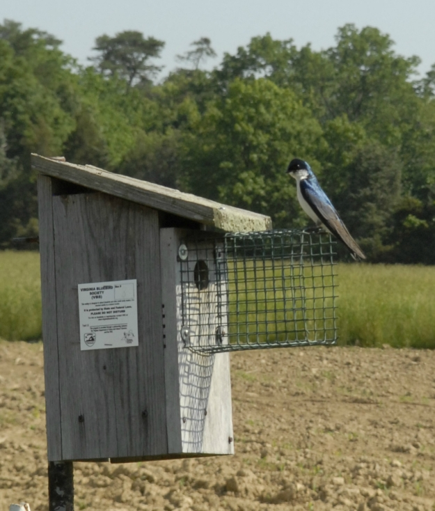 A tree swallow rests on a bluebird nesting box at Frying Pan Farm Park.