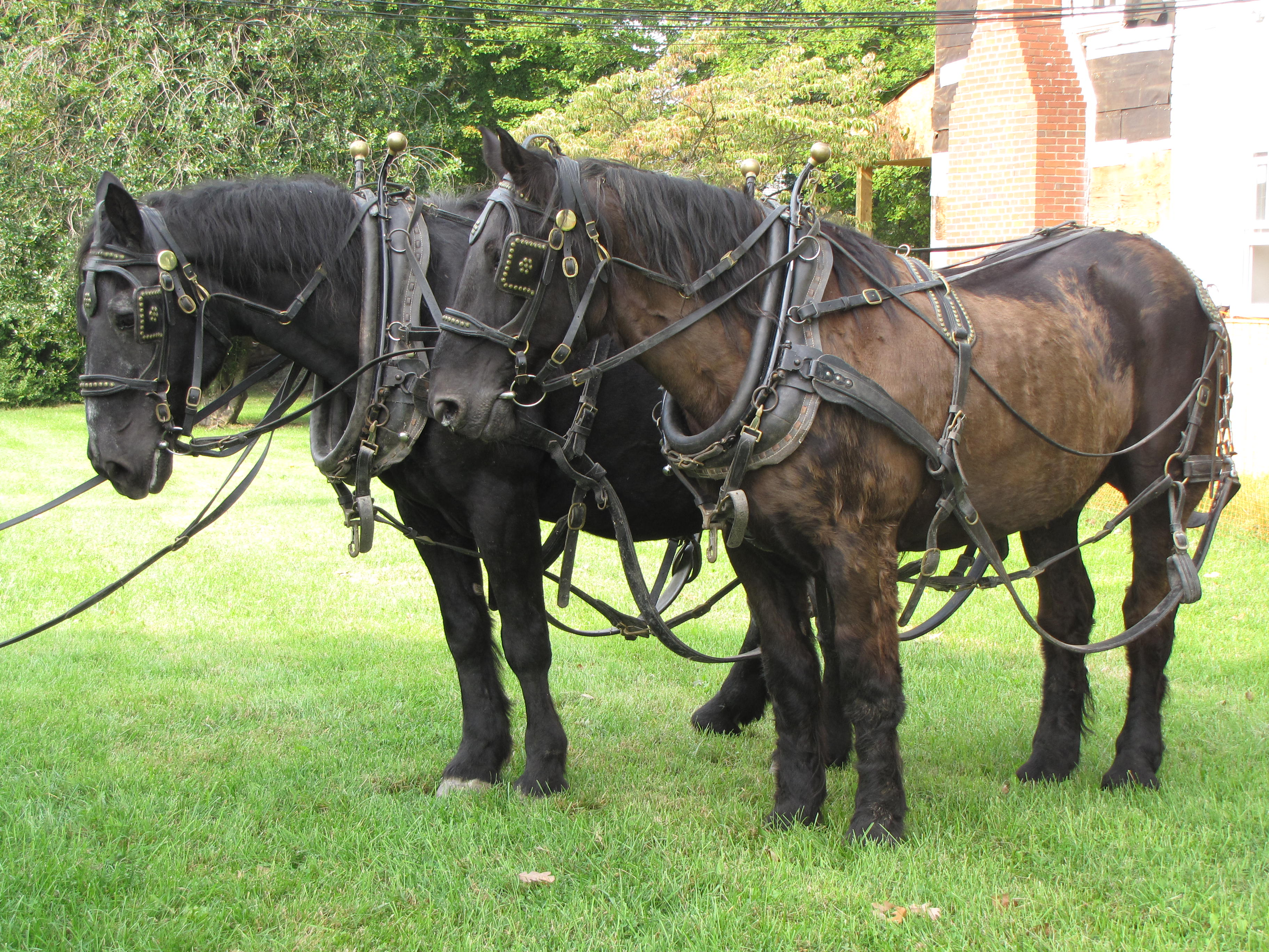 Percheron Draft Horses Our Stories And Perspectives