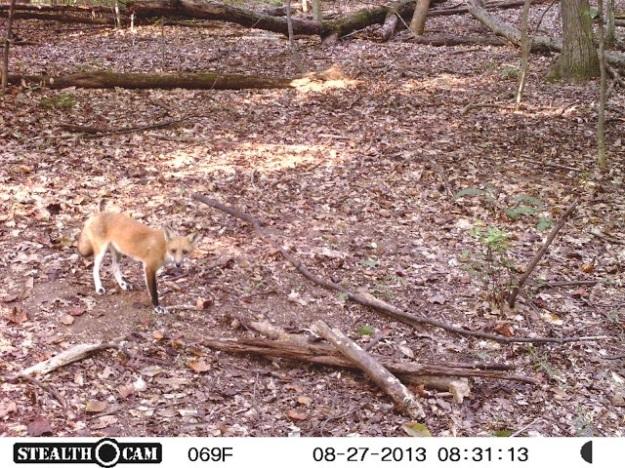 This fox has unusual markings.