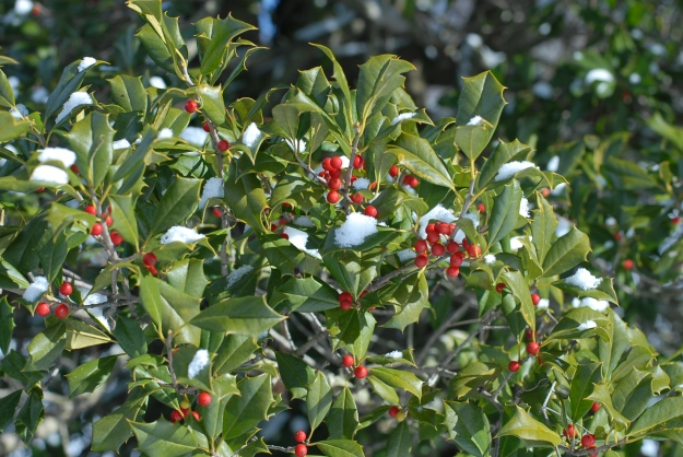 Snow-covered holly berries