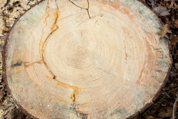 One hundred twenty-five rings were counted in this cross-section of the tree. Photo by Sean Bahrami.