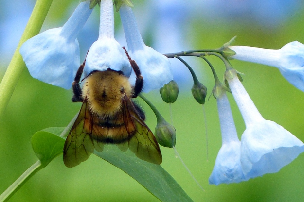 Bumblebees are big fans of bluebells, too.