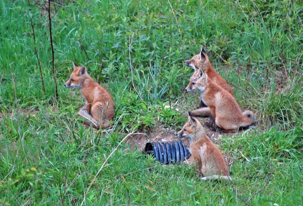 Fox Kits at Lake Mercer