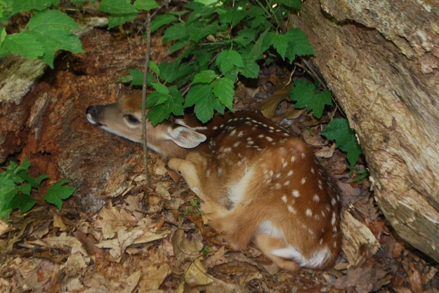 A child attending a birthday party at Hidden Oaks Nature Center discovered this camouflaged fawn hiding under a fallen tree.