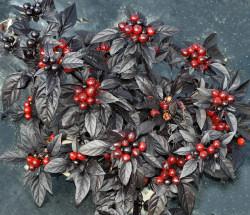 Black Pearl Pepper