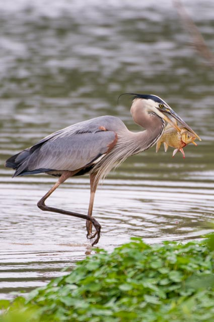 Great Blue Heron. Photo by Curtis Gibbens.