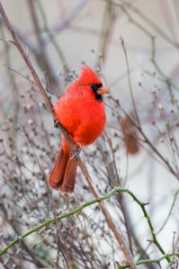 Northern cardinal. Photo by Curtis Gibbens.