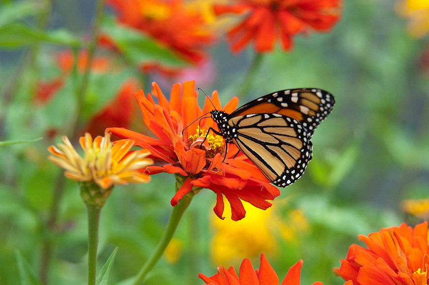 Where Have All Monarchs Gone >> Where Have All The Monarchs Gone Our Stories And Perspectives