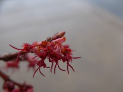Red Maple Tree Flowers