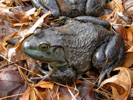 Blog edit-Bull frog