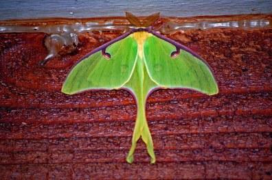 Luna Moth, Westmoreland