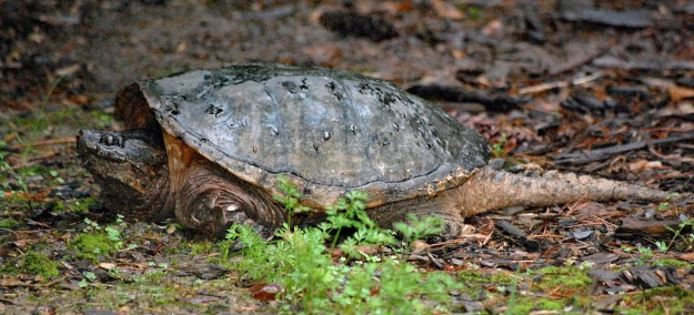 Blog edit-Snapping turtle