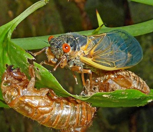 Cicada 2a