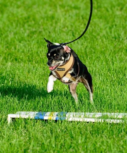 Dog 1 - Agility