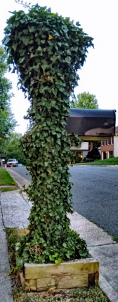 English Ivy 2, Mail Post