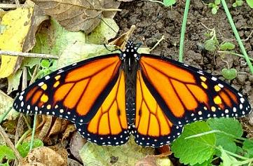 Monarch 2017-a