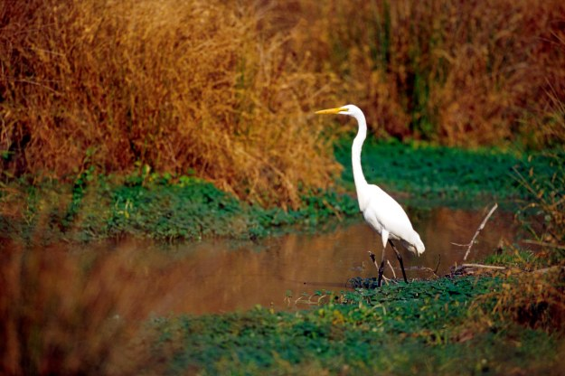 Huntley Meadows egret2