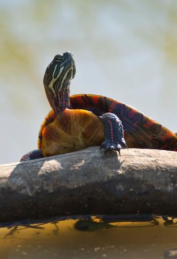TurtleHM0812_0621