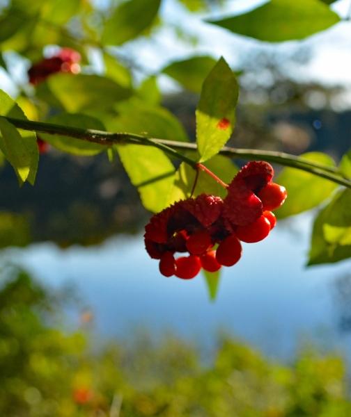 strawberry-bush.jpg