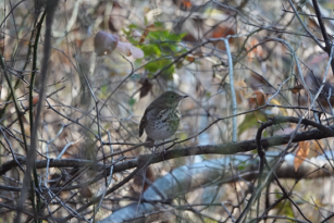 w - hermit thrush at burke lake-eric malmgren