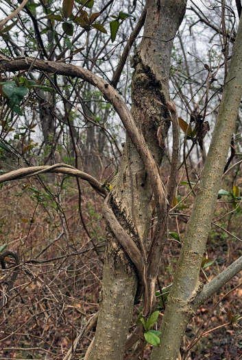 Honeysuckle wraps around a tree