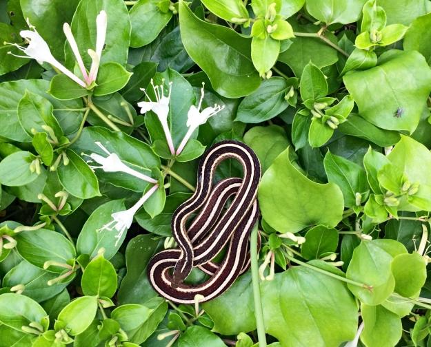IMG_6253 (002)-garter snake