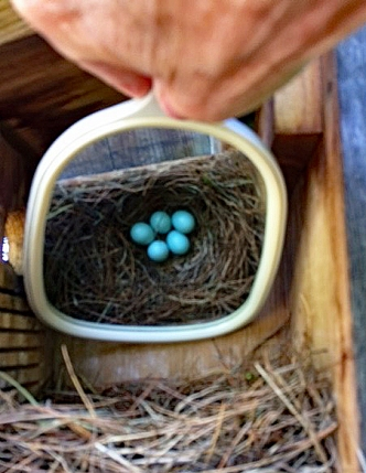 Eggs discovered in bluebird box.