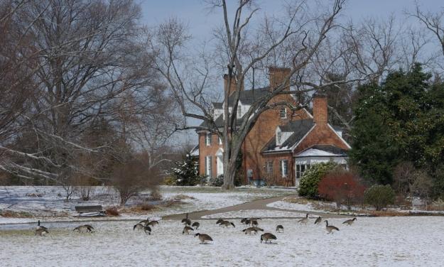 Ilex 'Scarlett O' Hara' geese 3-8-07 3rd (002)