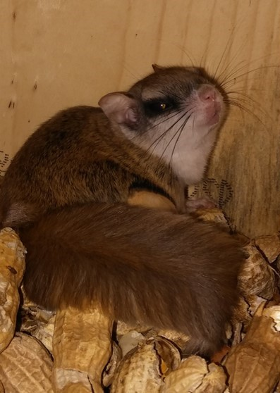 a flying squirrel sitting on some peanuts and shells inside a squirrel box
